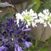 Amazing Agapanthus