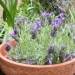 Mediterranean plants in UK