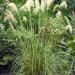 Toe-Toe NZ Pampas Grass