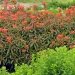 Drought Plant for March: Flaming Euphorbia