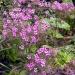 Canary Island Geranium