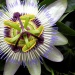 Blue Passion Flower, Common Passion Flower