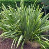 New Zealand Flax, Coastal Flax, Flax Lily