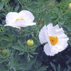 Califonian Tree Poppy