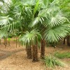 Drought Plants : Palm Trees