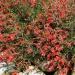 Californian Fuchsia