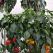 Hanging city gardens reduce food imports