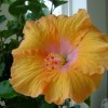 Tropical and non-tropical Hibiscus