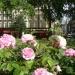 RHS Chelsea Flowers early