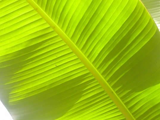 sun on bananna leaf