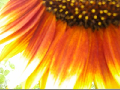 shot of sunlight shining on the yellow/orange petals of a beautiful sunflower