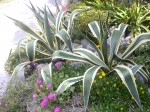 agave anf flowers