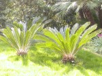 cycads in lawn
