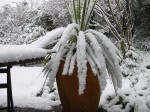 April 6th heavy snowfall on one of my Cordylines