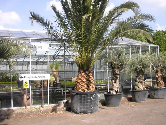 Drought Plants : Palm Trees | My Climate Change Garden
