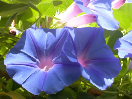 Good Morning Glory My Climate Change Garden