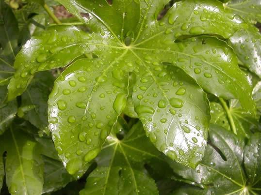 fatsia-rain-001