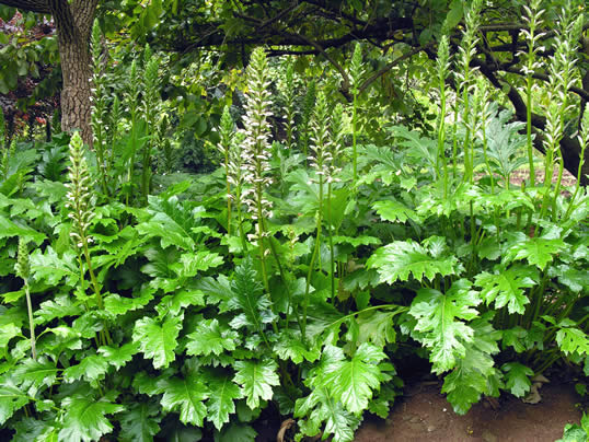 Bears Britches - Acanthus mollis