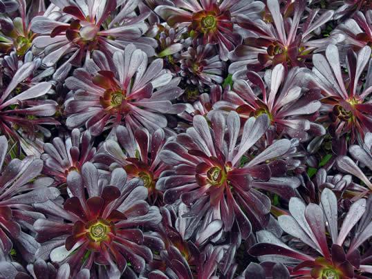 Aeonium - Aeonium arboreum