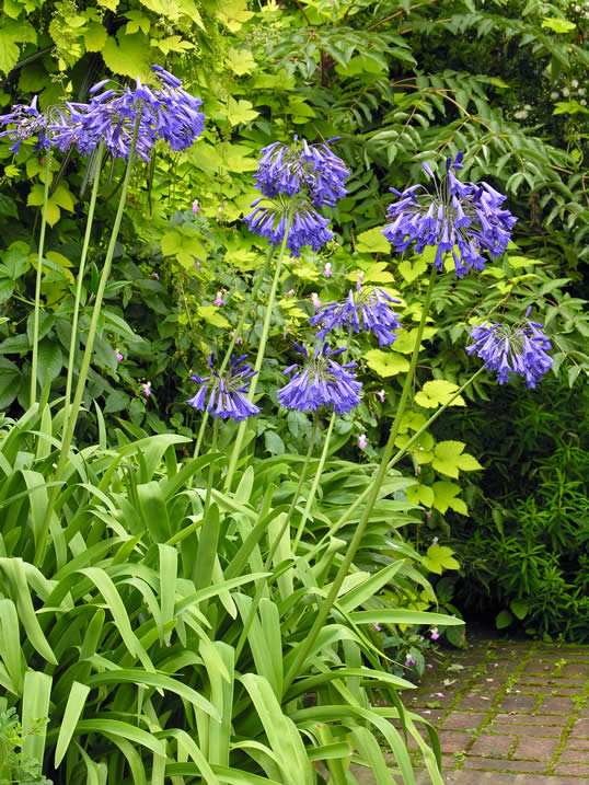 African Lily - Agapanthus