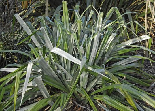 Silver Spear - Astelia chathamica