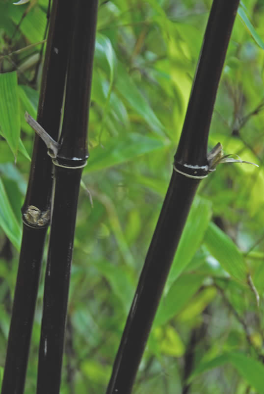 Black Bamboo Pictures Black Bamboo Phyllostachys
