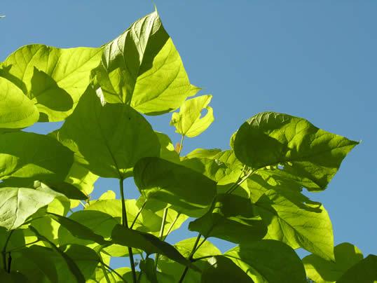 Golden Indian Bean Treet - Catalpa bignonioides Aurea