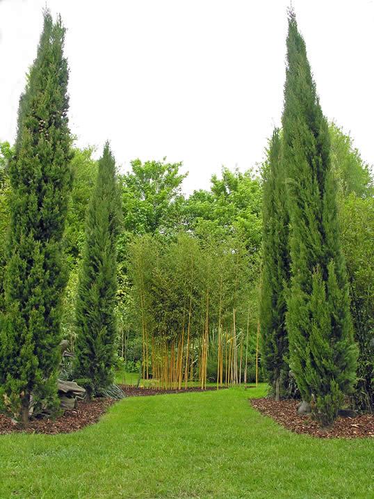 Italian Cypress, Funeral Cypress - Cupressus cempervirens