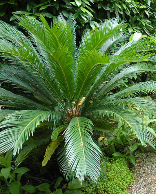 Japanese sago palm my climate change garden for Cycas landscape design