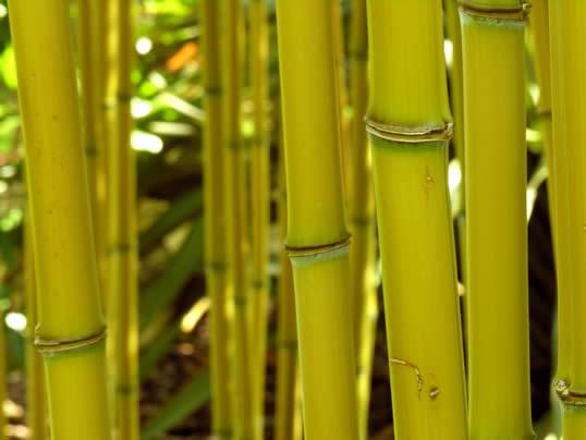 Golden Bamboo - Phyllostachys aureo-sulcata Aureocaulis