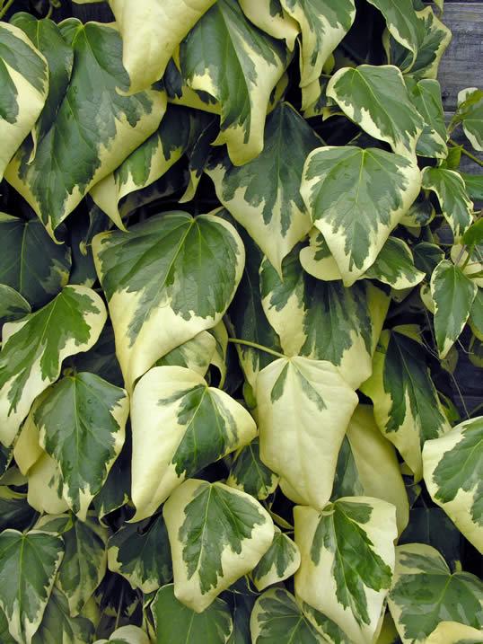 Varigated Ivy - Hedera colchica Dentata Varigata
