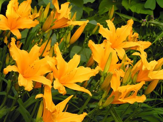 Day Lily - Hemerocallis