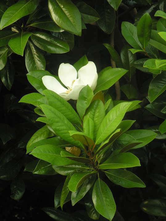 Bull Bay, Southern Magnolia - Magnolia grandiflora