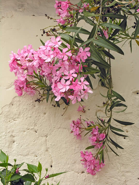 1000 images about nerium oleander on pinterest gardens plants and shrubs. Black Bedroom Furniture Sets. Home Design Ideas