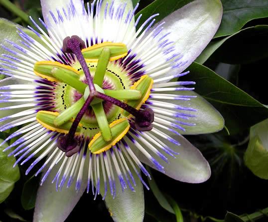 Blue Passion Flower, Common Passion Flower - Passiflora cerulia