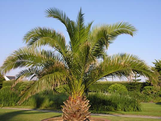 canary island palm my climate change garden. Black Bedroom Furniture Sets. Home Design Ideas