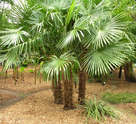 Folhas palmeira trachycarpus on pinterest windmills palms and palm trees for A gardener is planting two types of trees