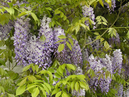 Japanese Wisteria My Climate Change Garden
