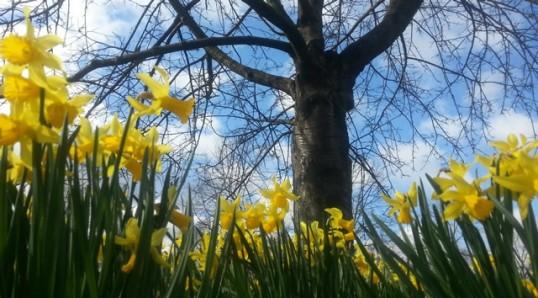 daffodils+tree_640_354auto
